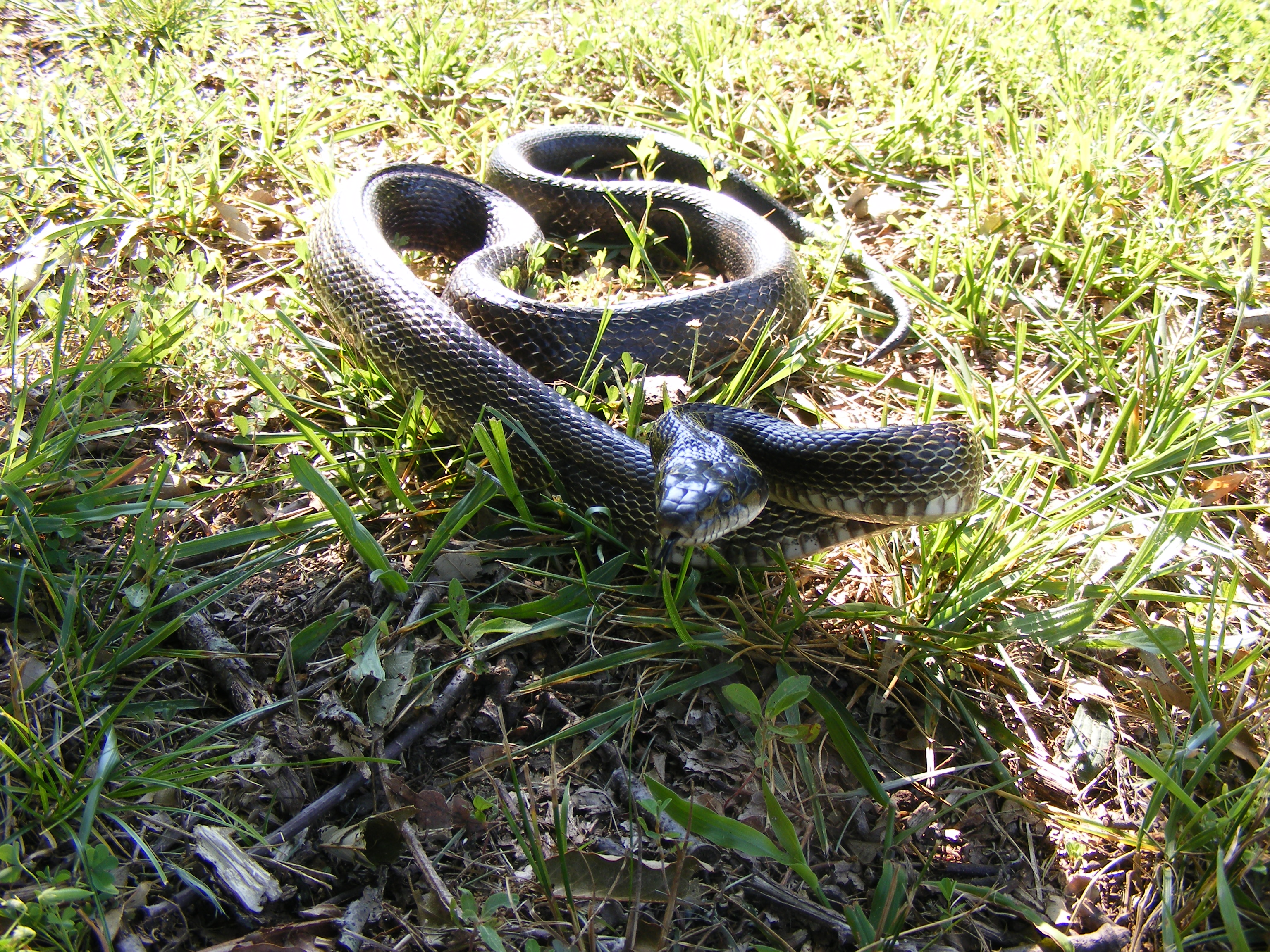 Black Rat Snake Soddy Daisy TN