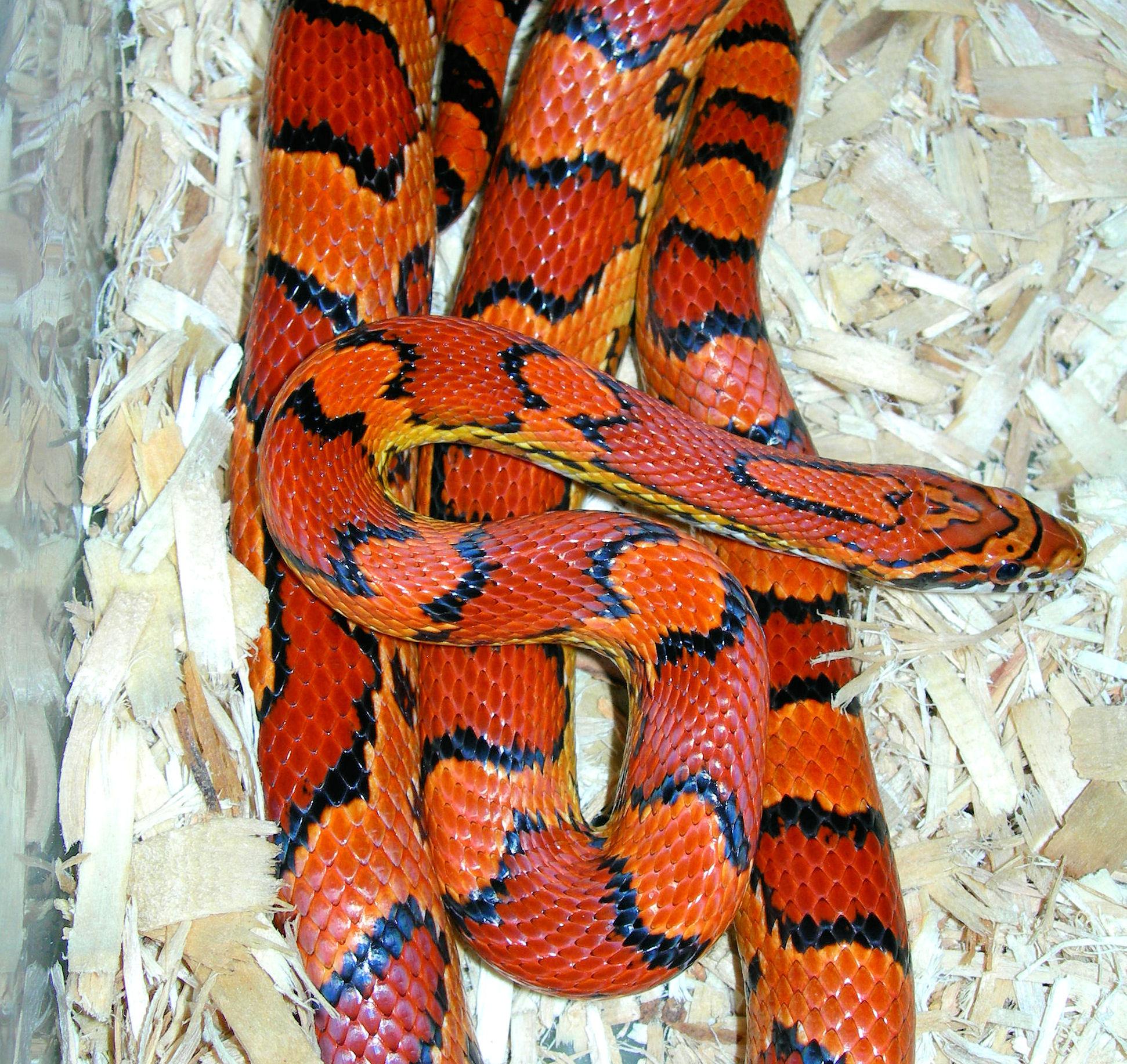 Abbott's Okeetee Corn Snake: Abby