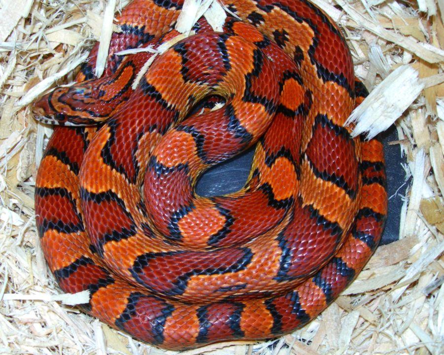 Abbott Okeetee Corn Snake: Abby