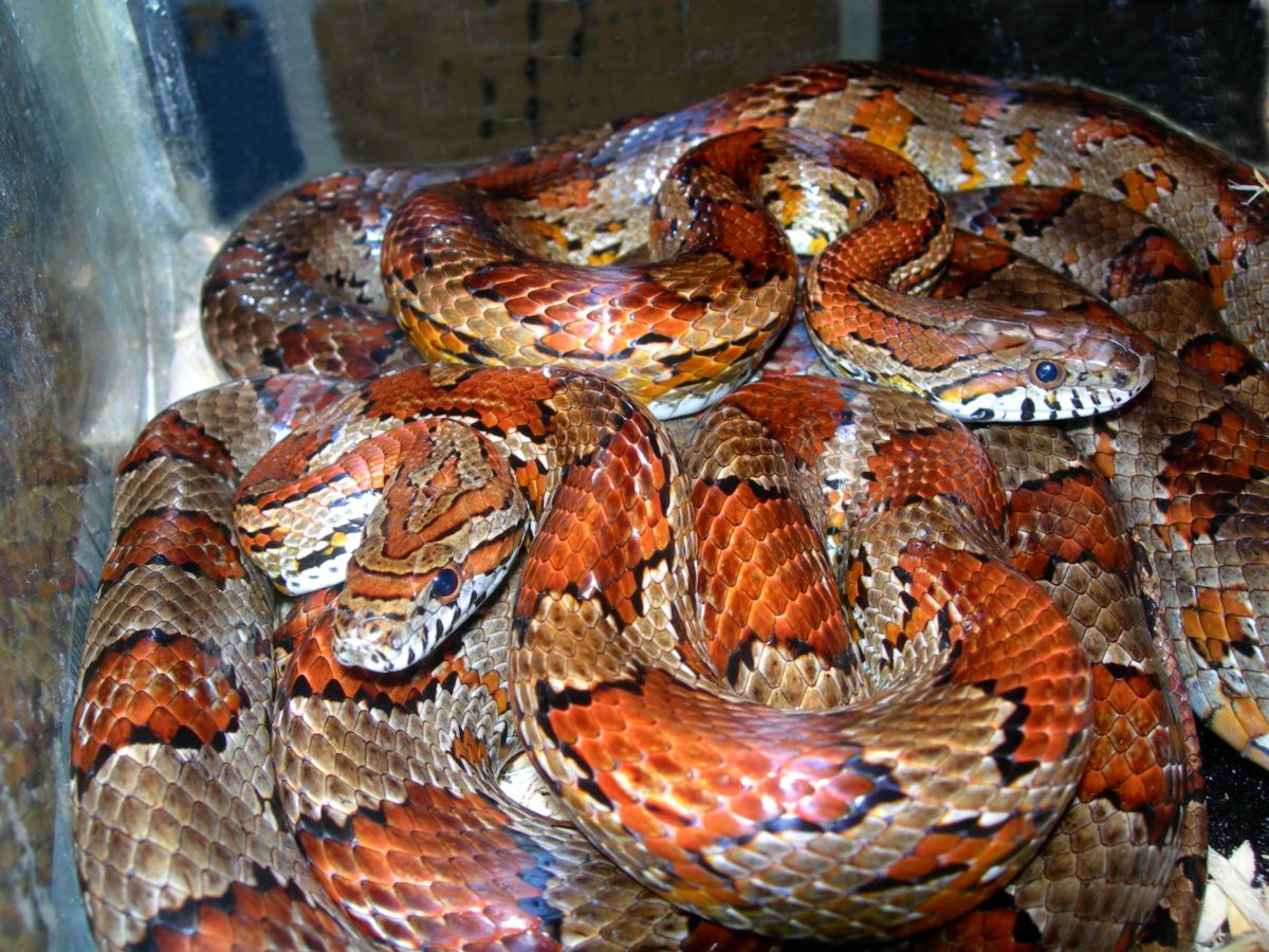 Jackson County Alabama corn snakes