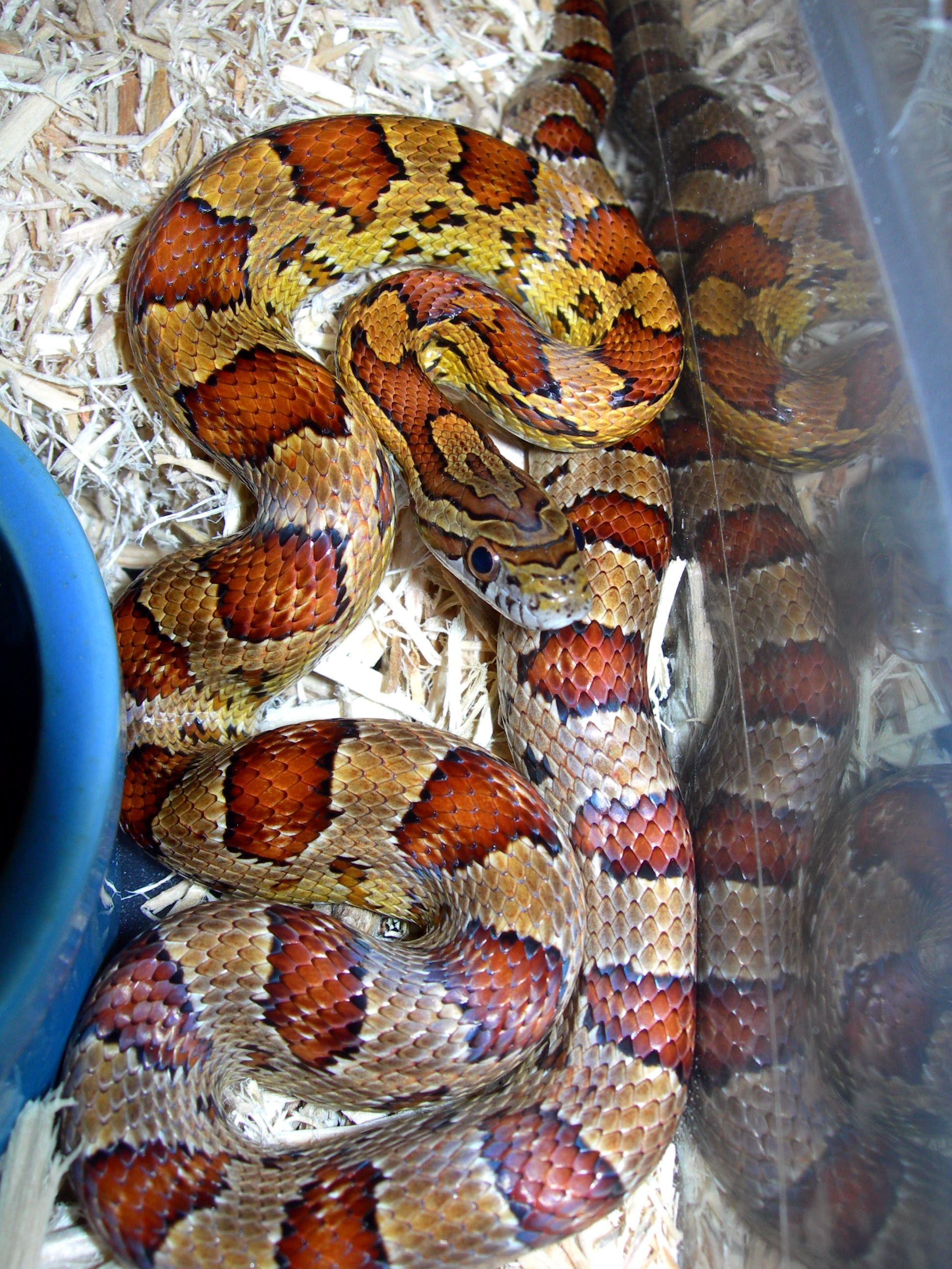 Dekalb County Alabama corn snake