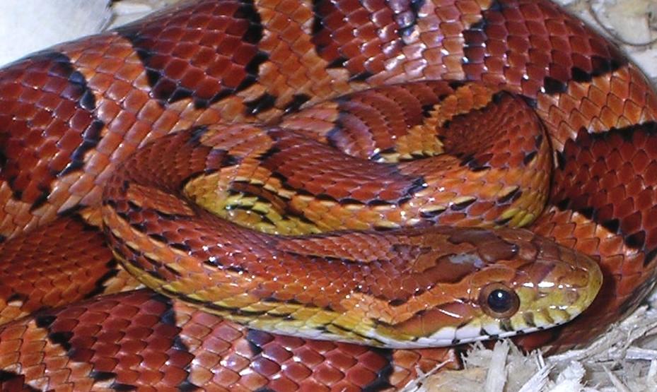 Okeetee Corn Snake: Ariel