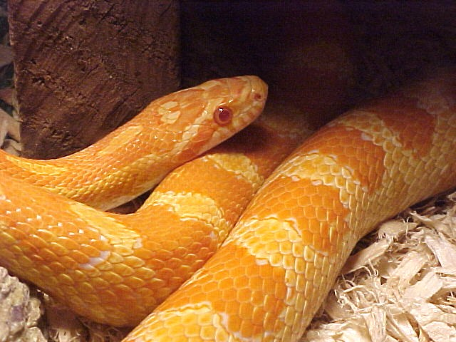 Creamsicle Corn:Arwen