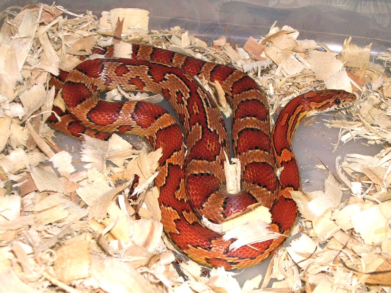 Natural Corn Snake: Athena