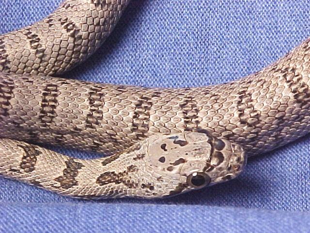 Bairds Rat Snake: Rosie