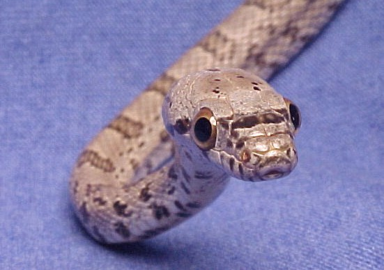 Bairds Rat Snake: Sam