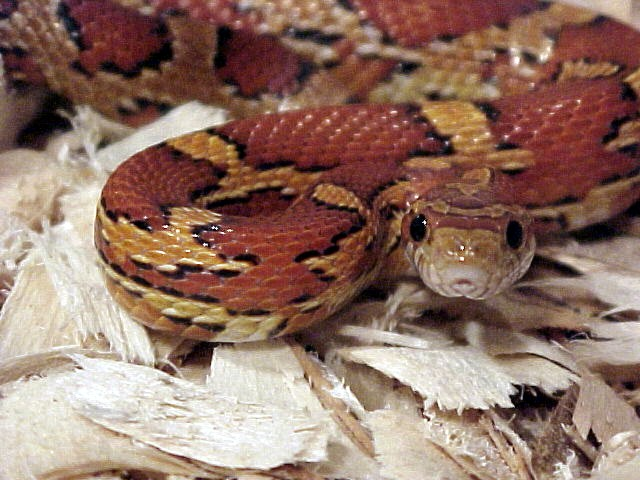 Natural Corn Snake:  Balder