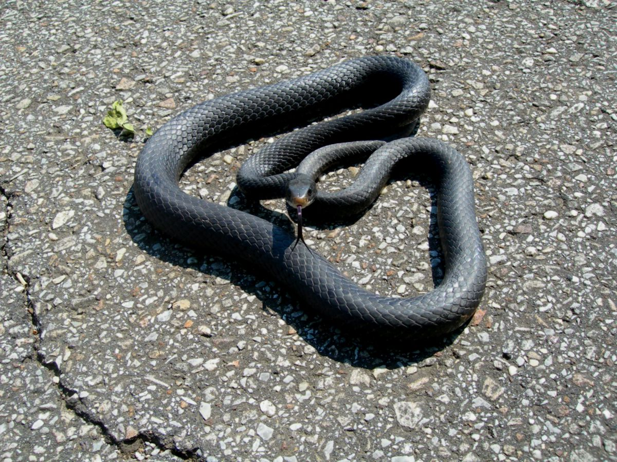 Adult Black Racer