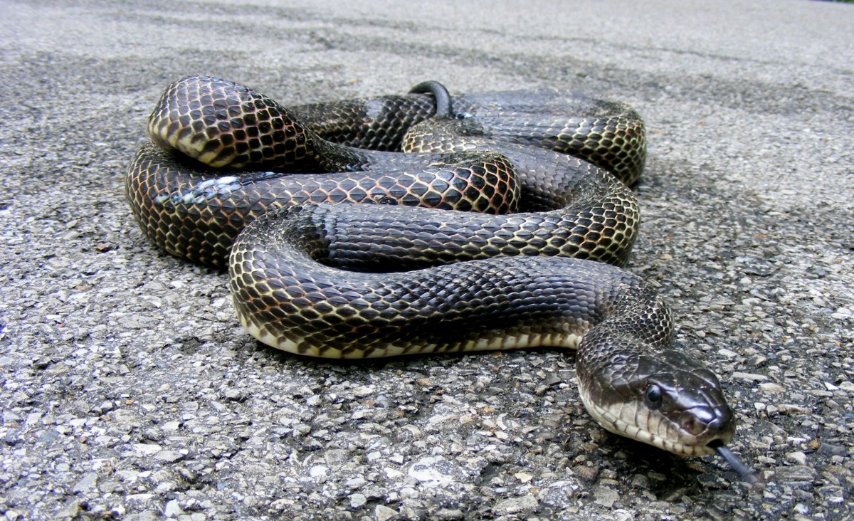 a gravid black rat snake photographed on a back road