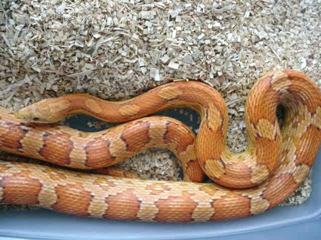 Cinnamon Corn Snake: Toast