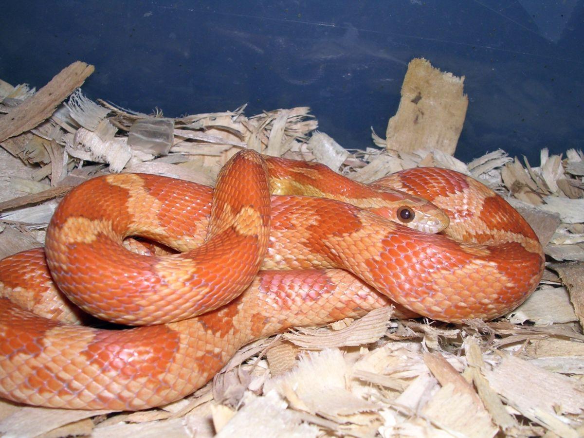 2005 Cinnamon Hatchling