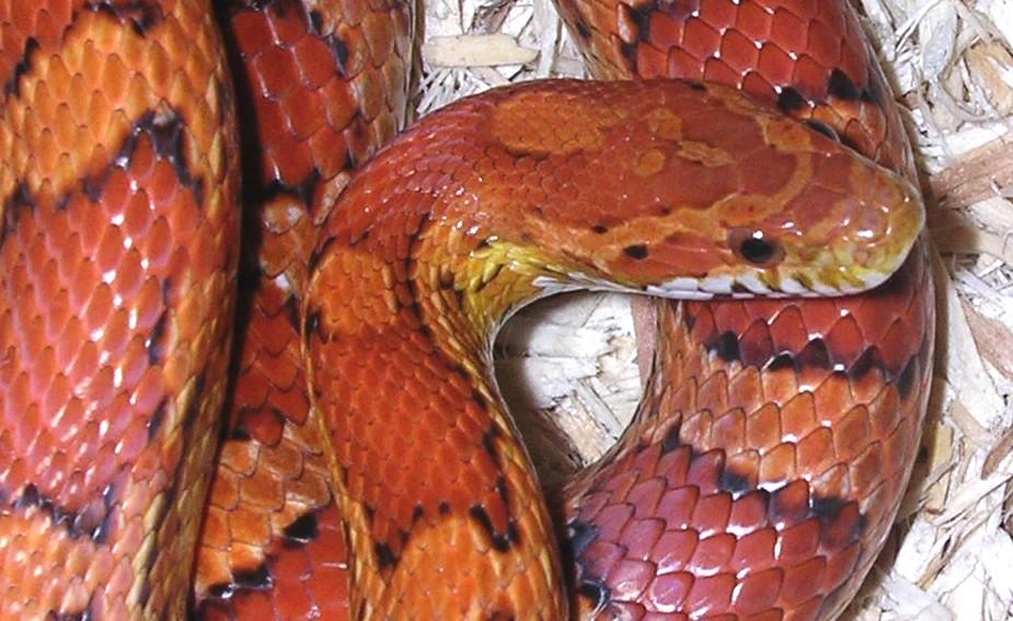 Okeetee Corn Snake: Doc