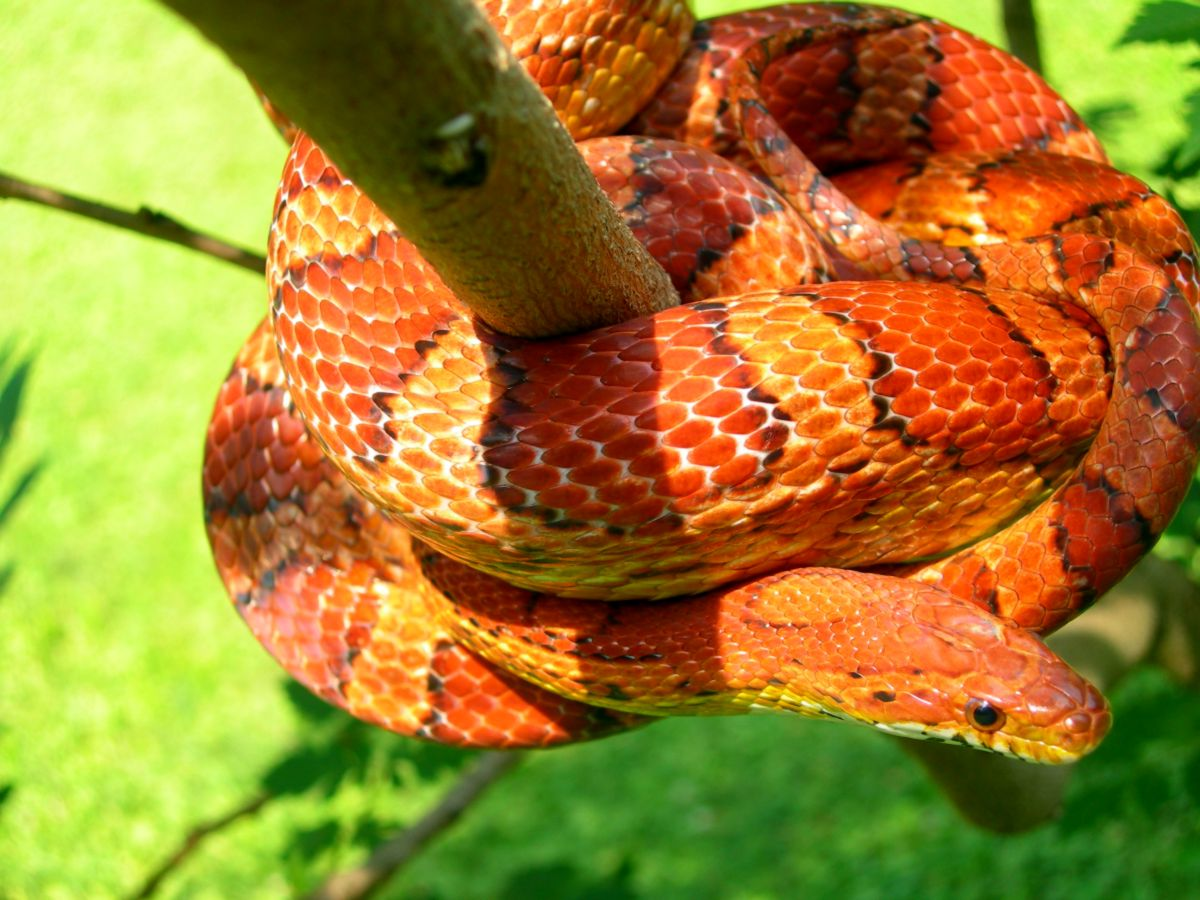 Okeetee Corn Snake: Doc, outside