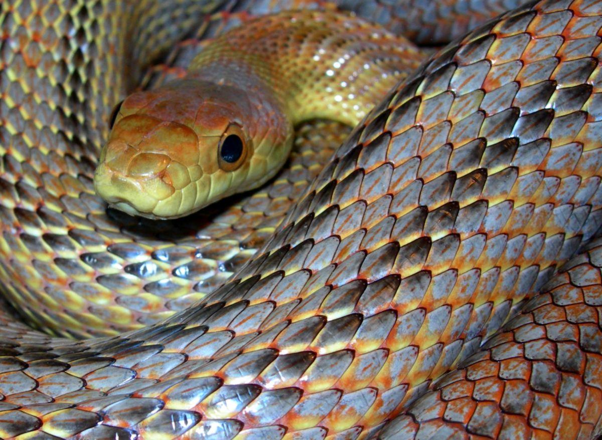 Bairds Rat Snake: Elrond