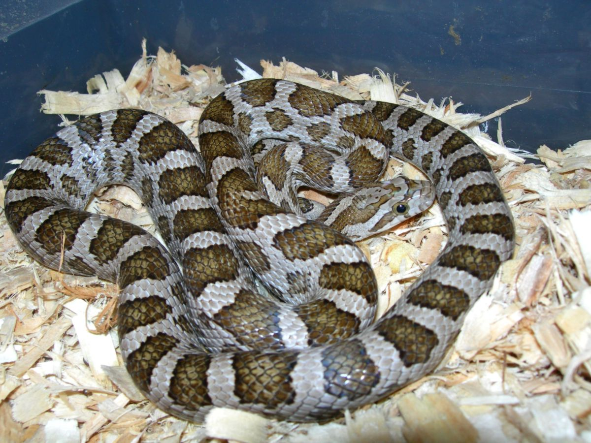 Female Emoryi Rat Snake