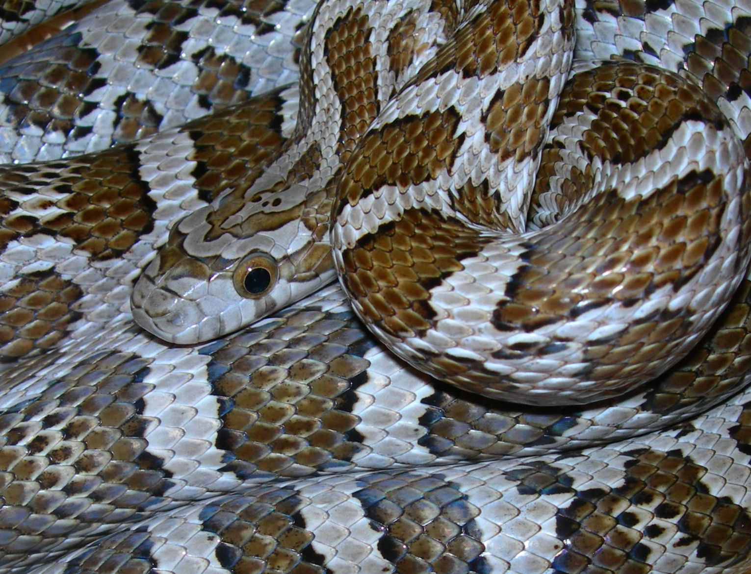Female Emoryi Rat Snake 2