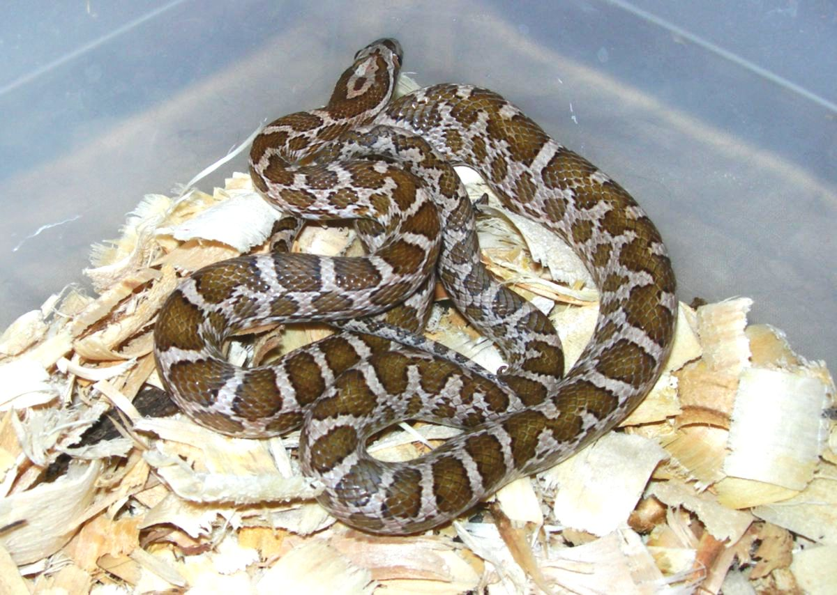 Male hatchling Emoryi Rat Snake 1