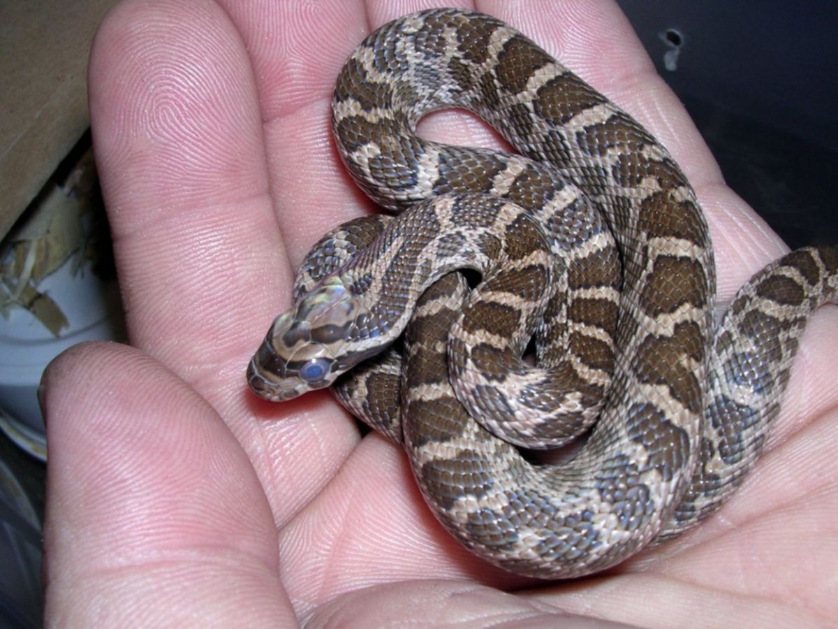 Male hatchling Emoryi Rat Snake 2
