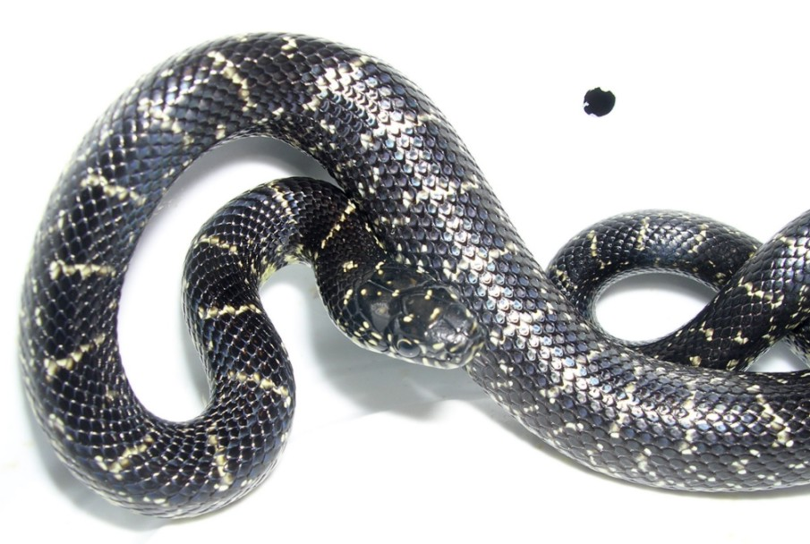 Eastern Black King Snake