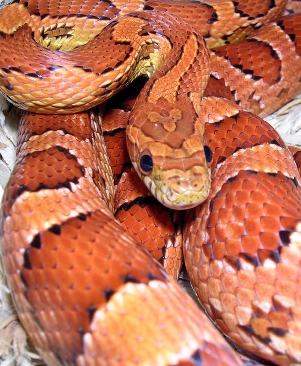 Okeetee Corn Snake: Frodo