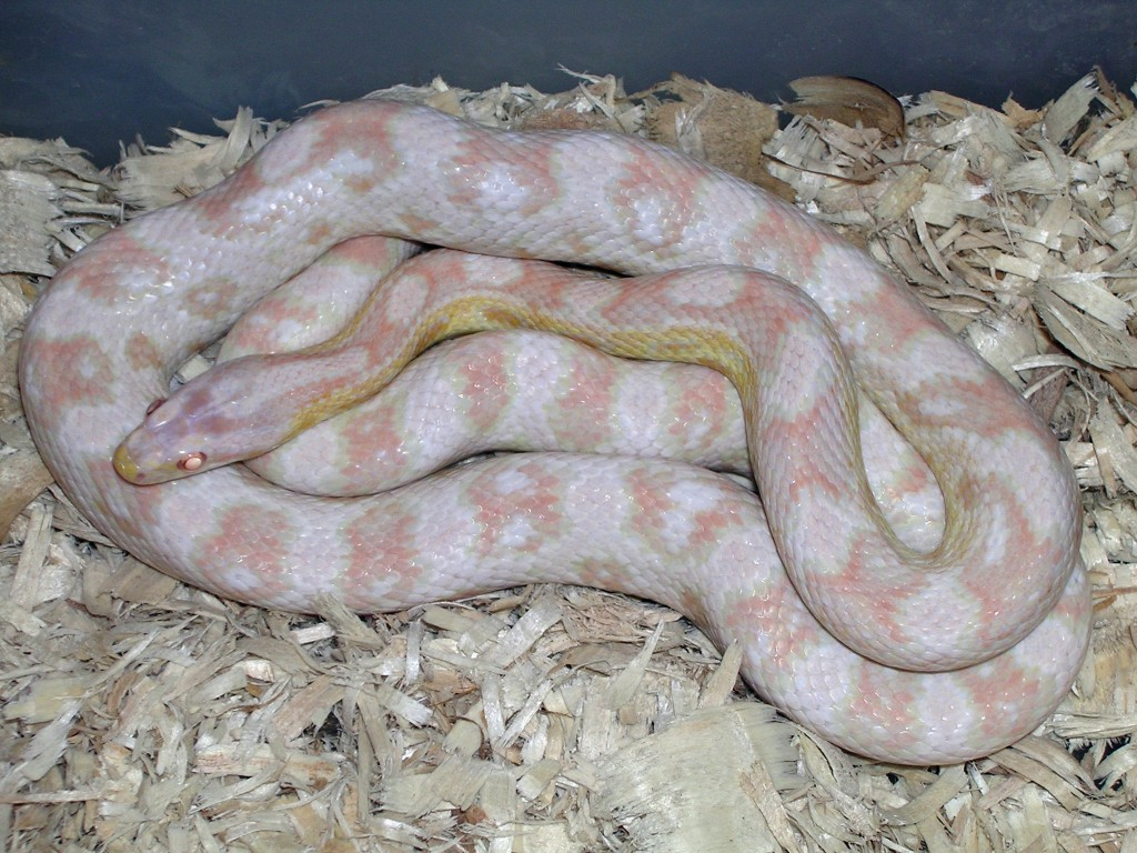 Snow Corn Snake: Frosty