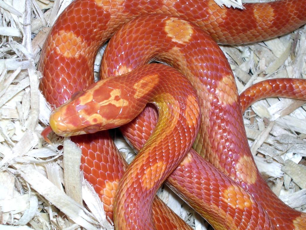 Amel Motley Corn Snake: Gimli