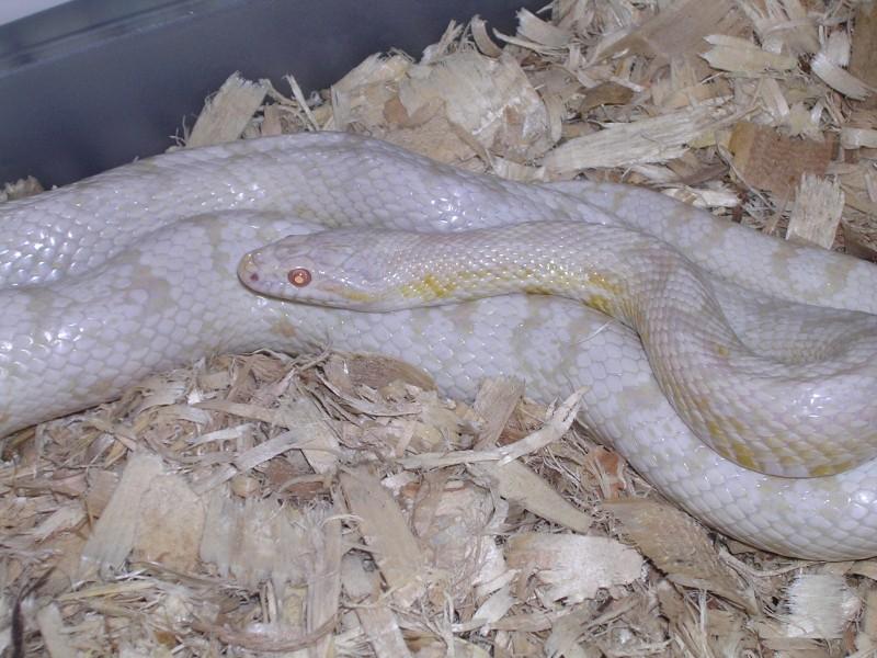 Snow Corn Snake: Glacier