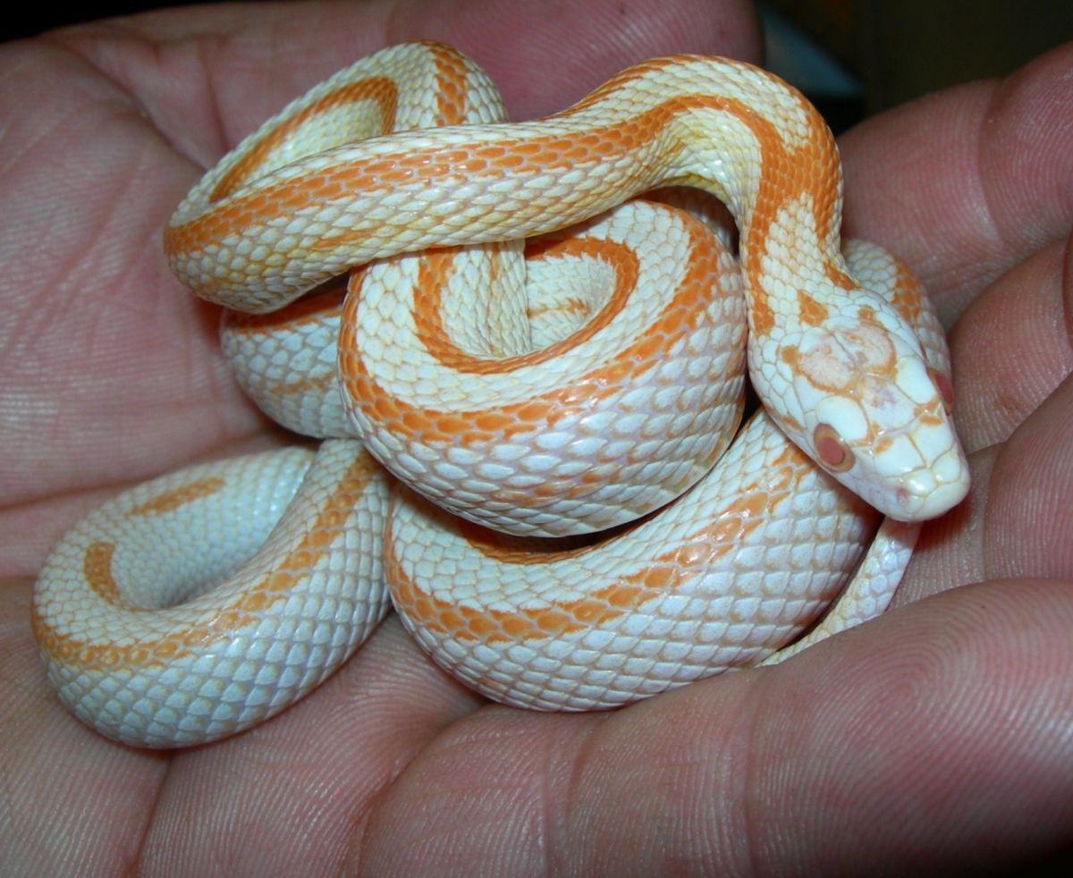 2006 Hatchling Stripe Creamsicle