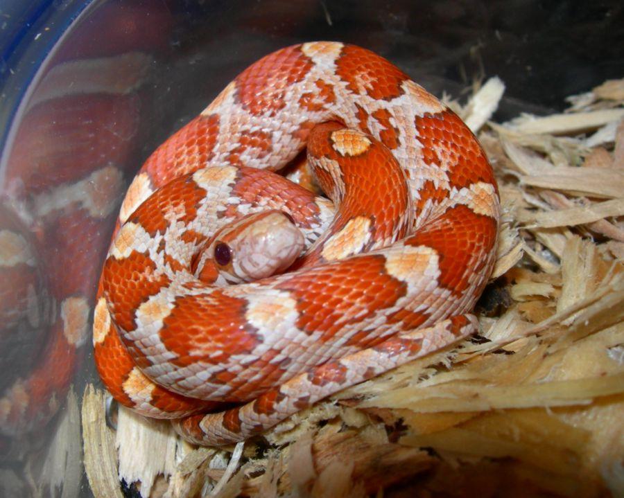 2006 Cinnamon Hatchling