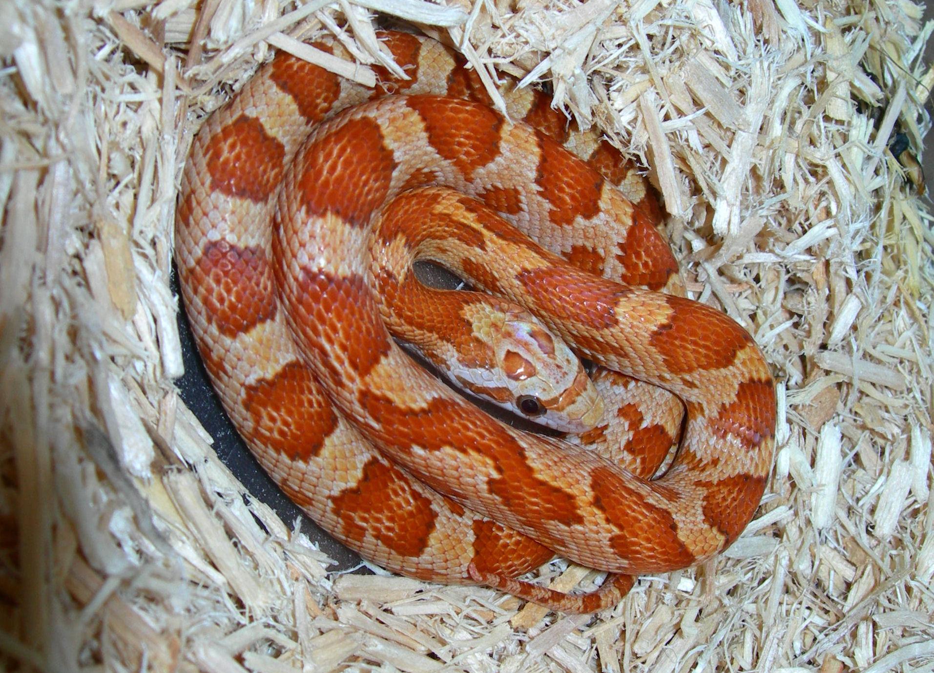 '07 Cinnamon Hatchling