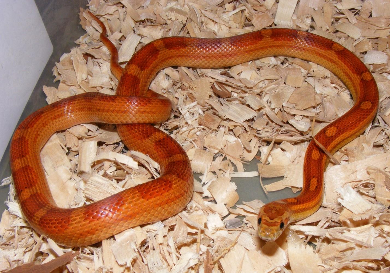 '09 Motley Corn Snake yearling