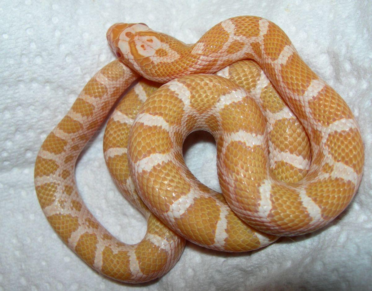 '08 albino emoryi