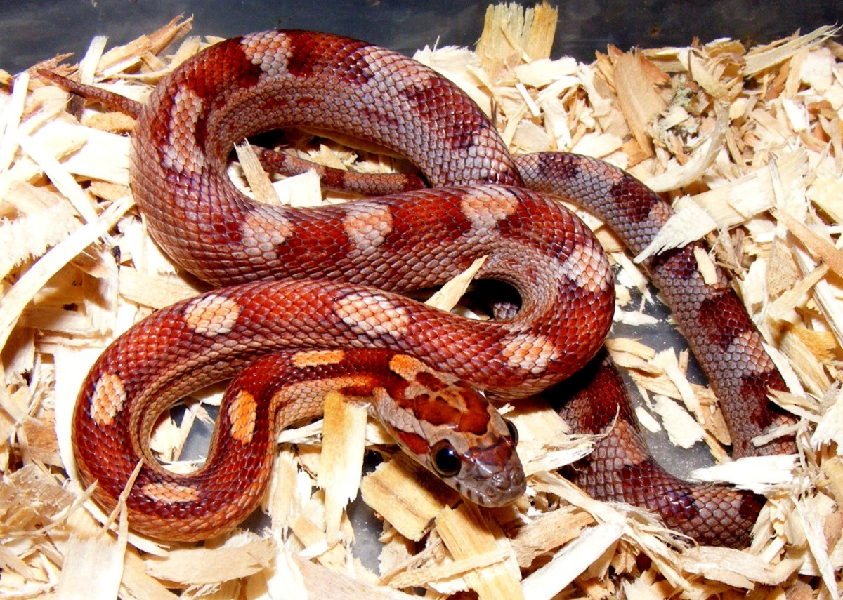 '09 Motley Corn Snake