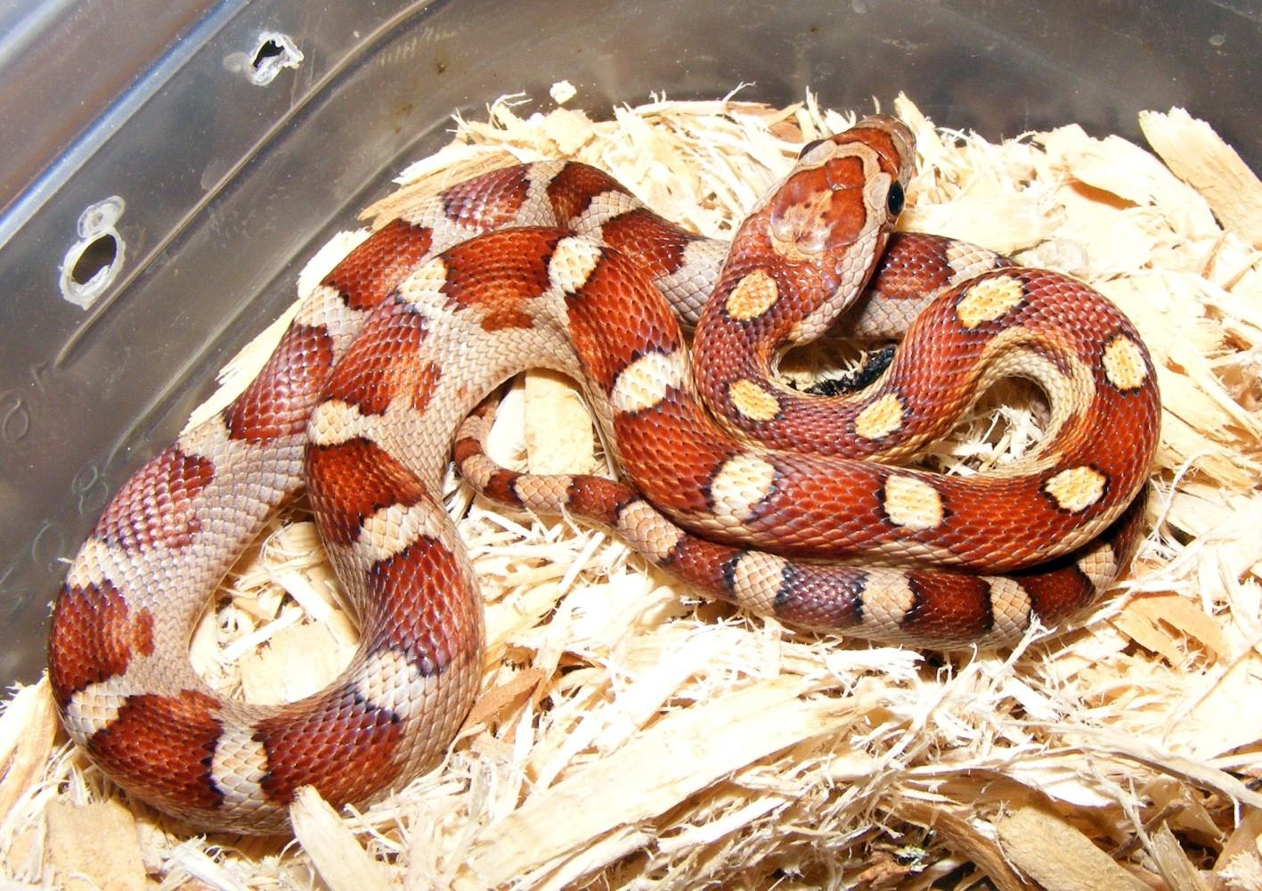 Motley Corn Snake hatchling