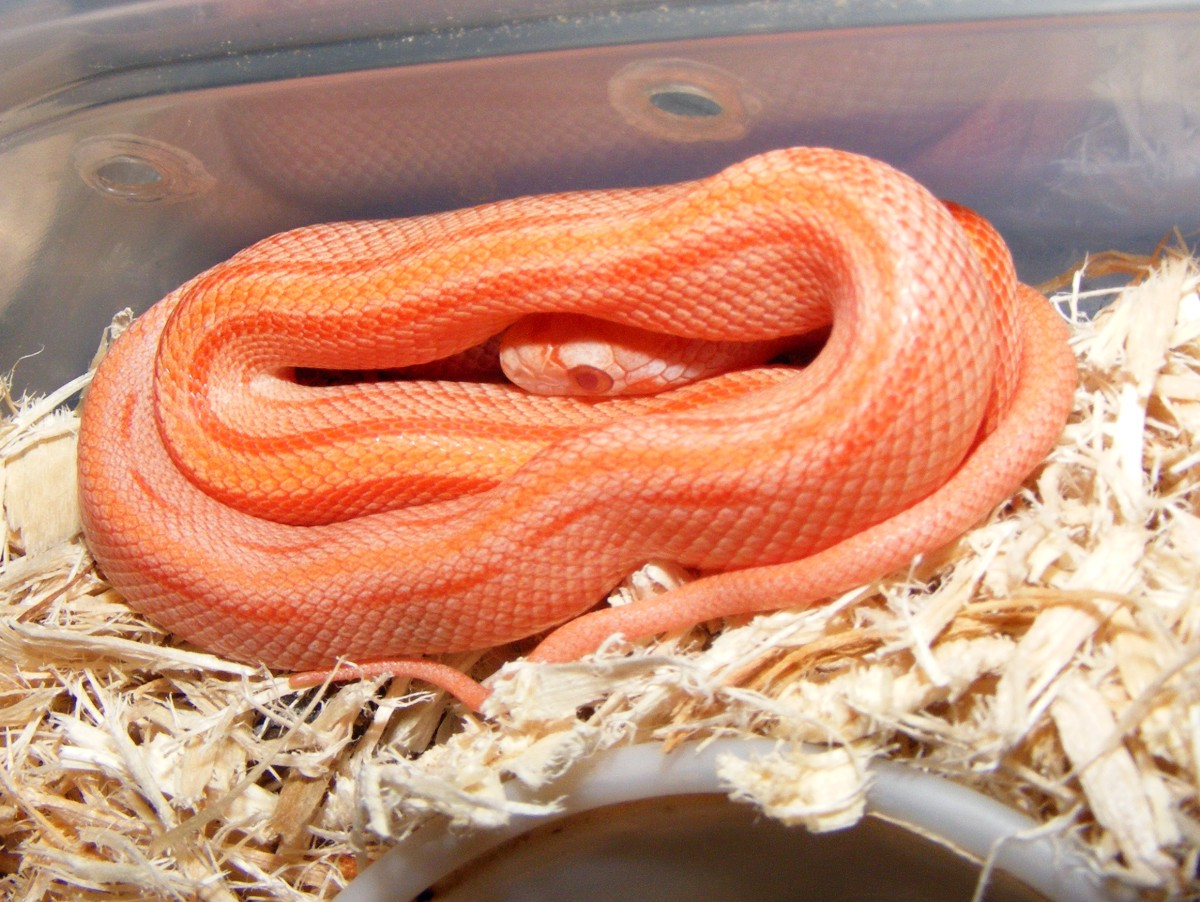 2011 Hatchling Stripe Creamsicle