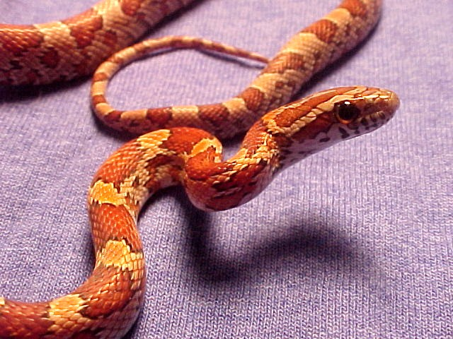 Natural Corn Snake: Isabeau