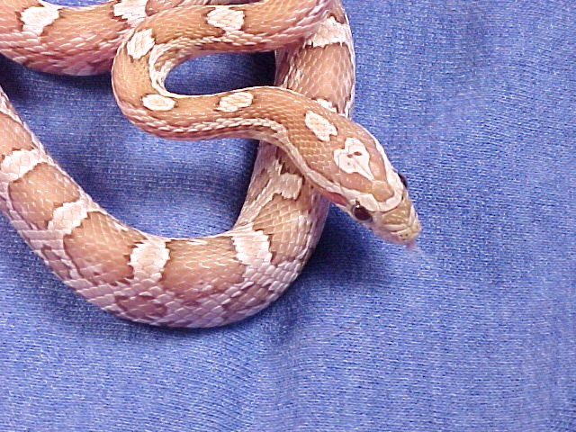 Ghost Corn Snake: Jacob