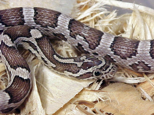 Anerythristic Corn Snake: Legolas