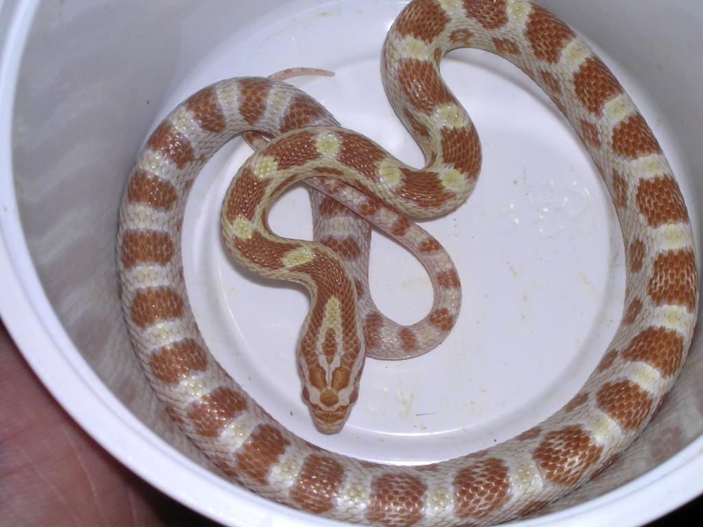 Butter Corn Snake: Makhan