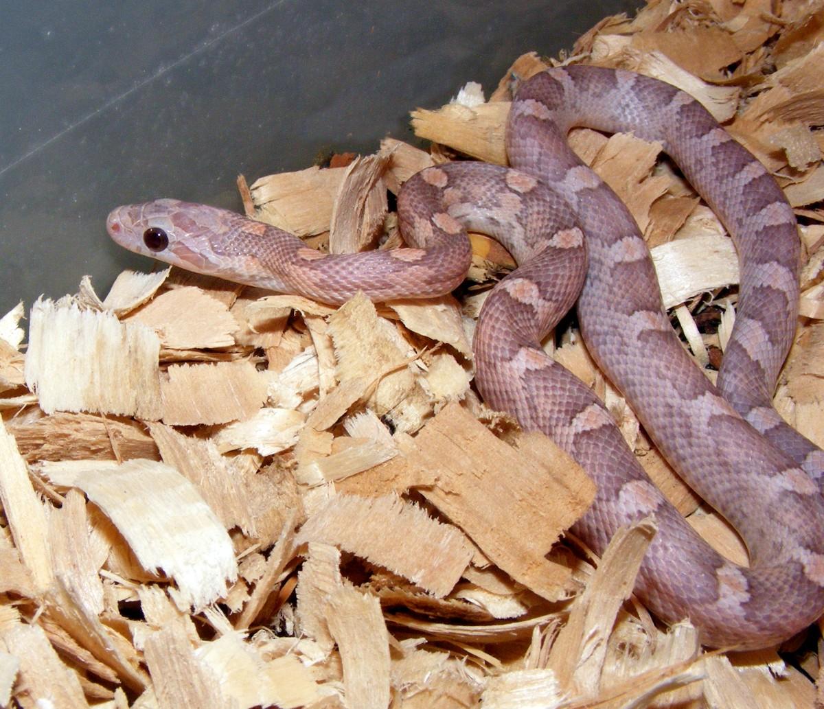 hatchling lavender motley