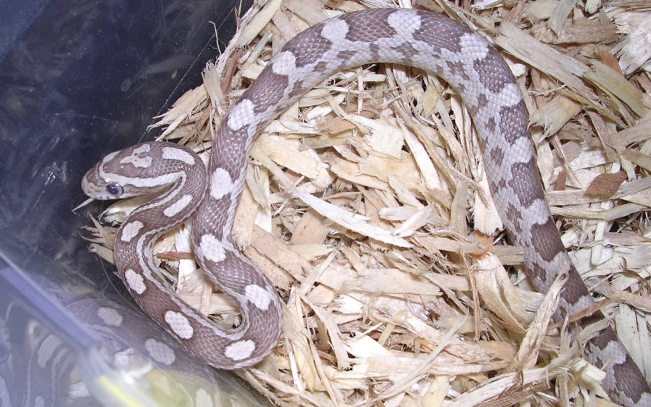 Ghost Corn Snake: Lacy