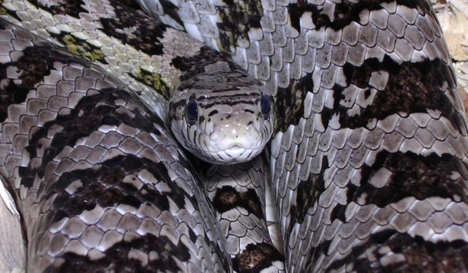 Grey Corn Snake