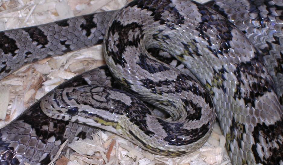 Anerythristic Corn Snake: Odin