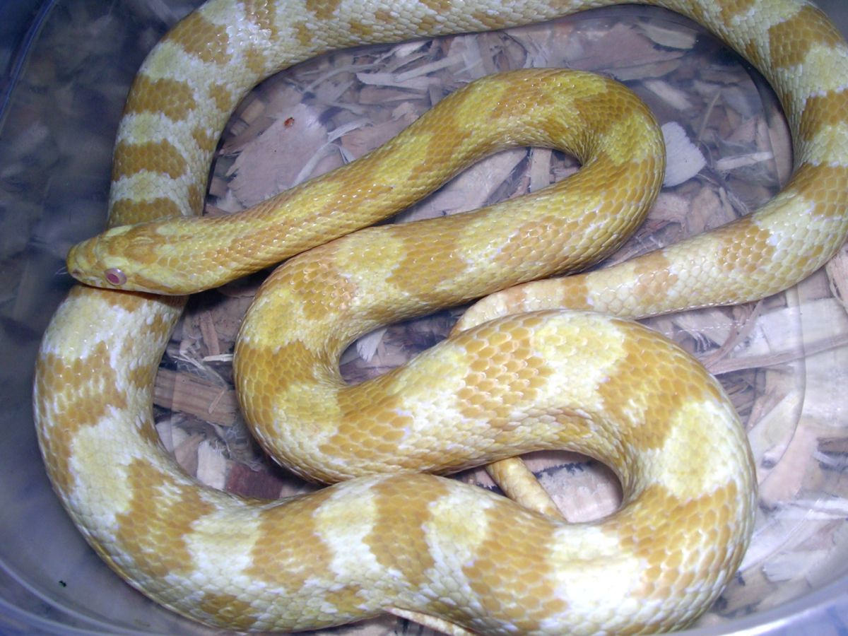 Rescued Butter Corn Snake: Olio