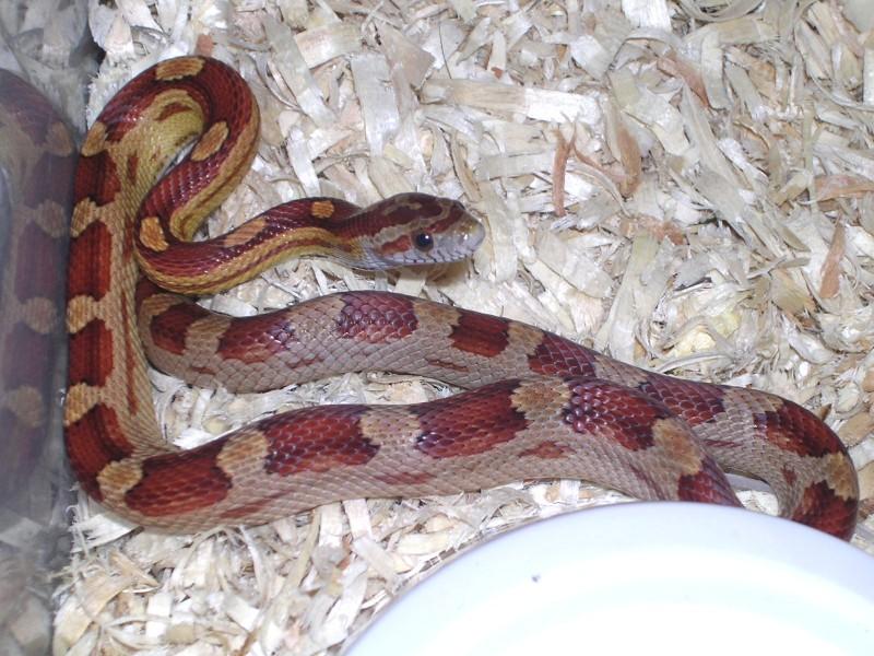 Motley Corn Snake: Pippin