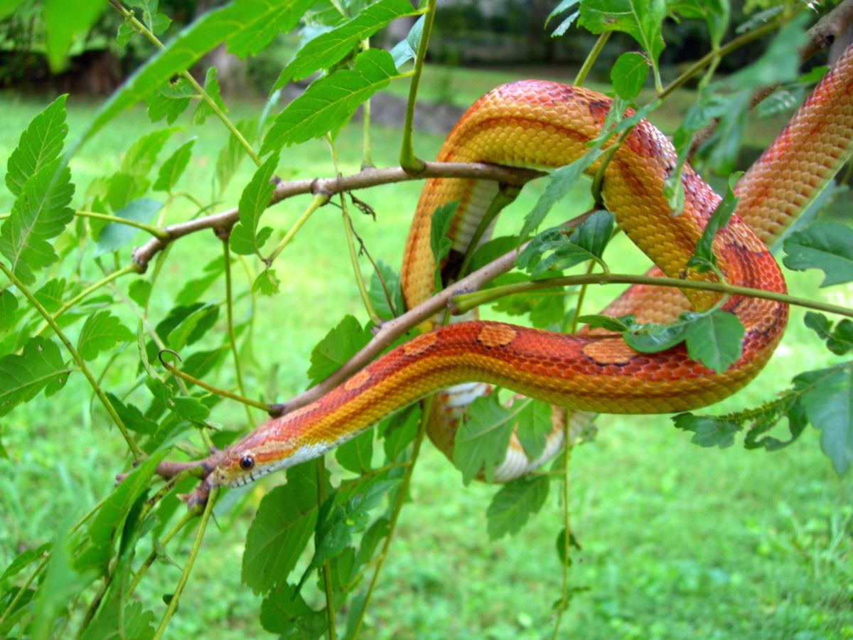 Motley Corn Snake: Pippin, In a Tree