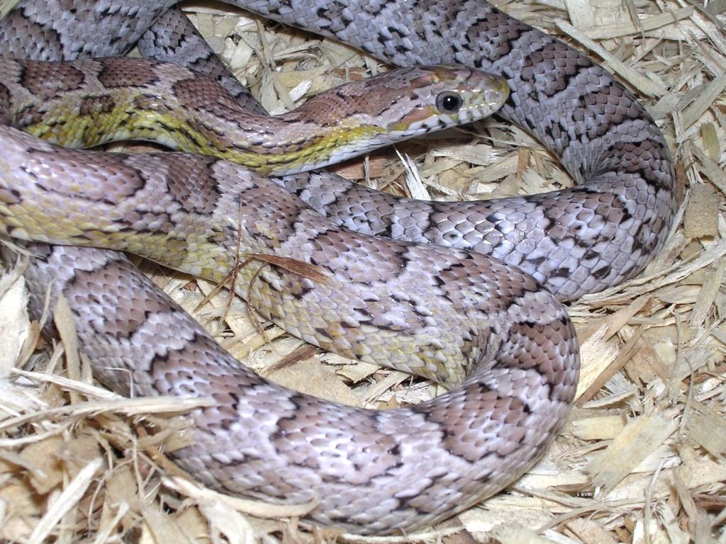 Ghost Corn Snake: Pistol Pete