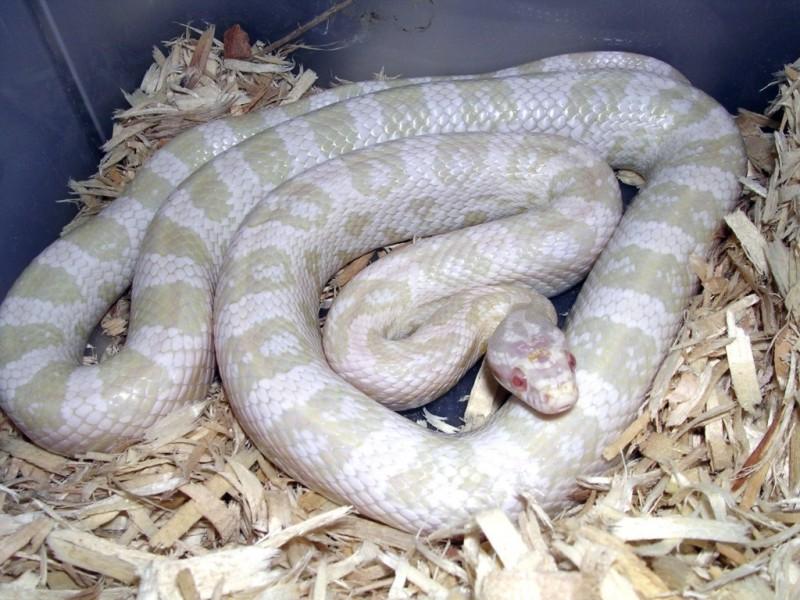 Snow Corn Snake: Yeti