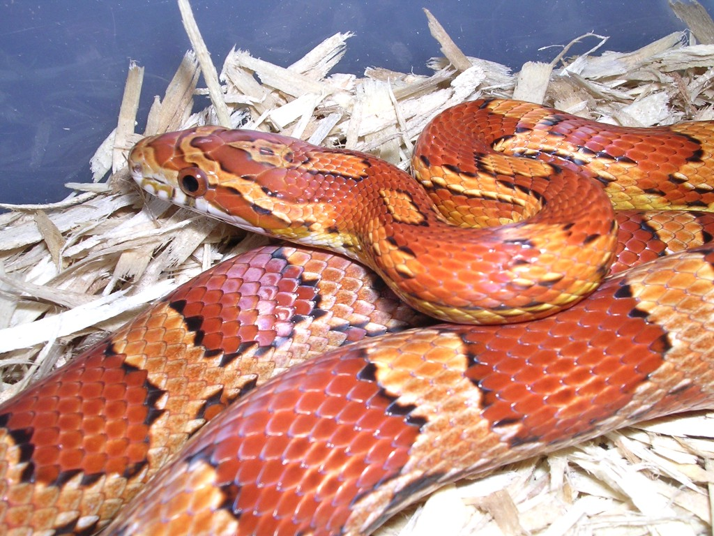 Natural Corn Snake: Sadie