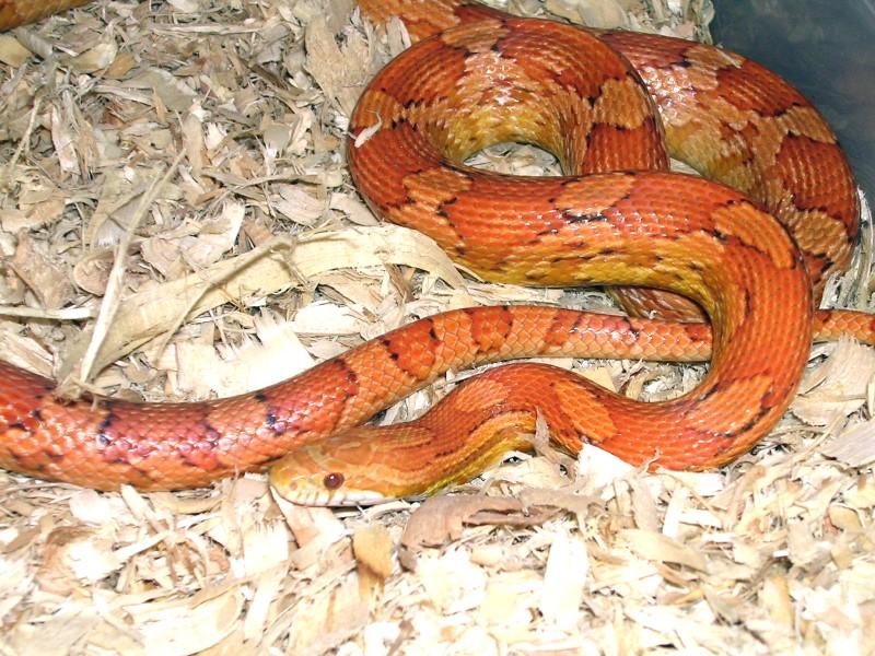 Cinnamon Corn Snake: Shana